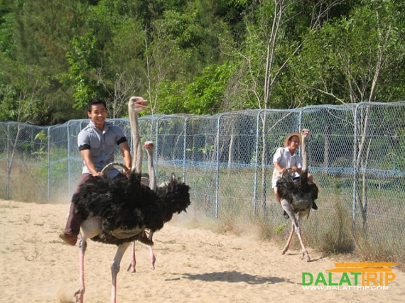 Ostriches Ride at Prenn Thác Prenn