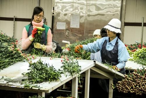 Những bó hoa được xử lý và đóng gói tại một xưởng lạnh.