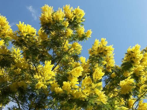 Hoa mimosa bung nở dưới nắng xuân rực rỡ