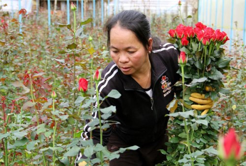 Làng Vạn Thành cung cấp 80% hoa hồng cho Đà Lạt.