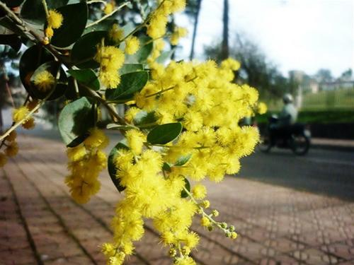 Mimosa khoe sắc bên đường