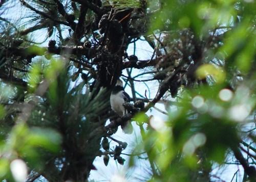 Chim cà cưỡng trống đứng gác tổ không cho kẻ thù bén mảng tới.