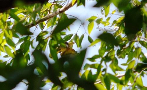 Chim hoàng anh tại khuôn viên Trường đại học Đà Lạt.