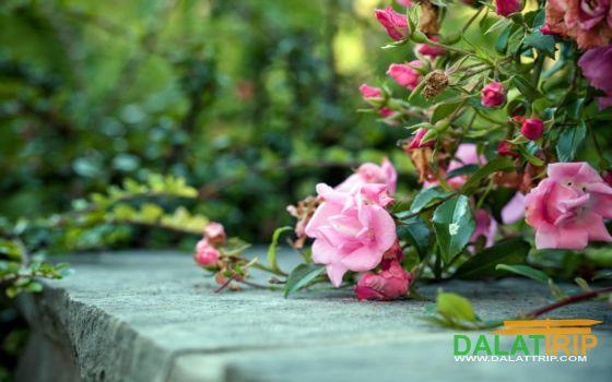 Hoa hồng dại Đà Lạt