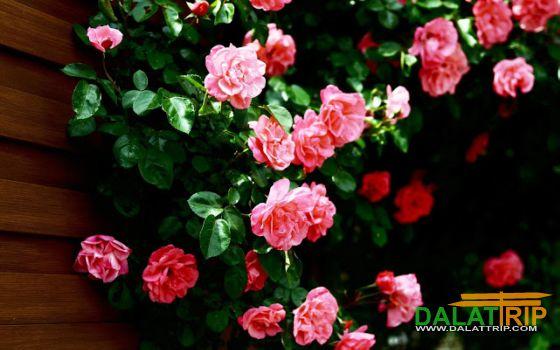 Hoa hồng trên tường