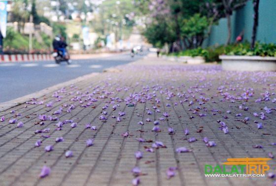 Cánh hoa phượng tím rơi trên hè phố Đà Lạt