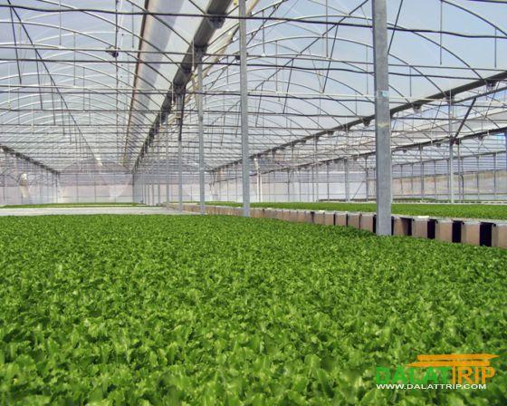 vùng chuyên canh rau Lâm Đồng