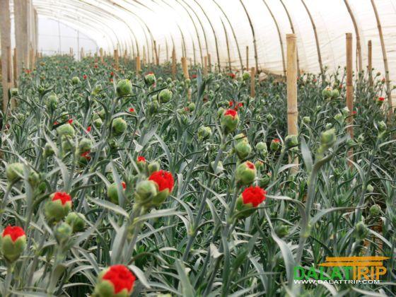 Vườn trồng hoa của Langbiang Farm