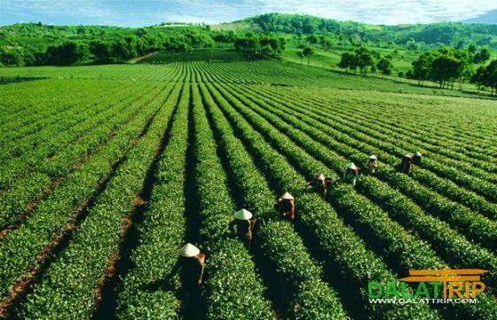 Đồi trà nguyên liệu rộng lớn của Bảo Lộc