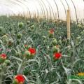 Một trong những làng trồng hoa Đà Lạt