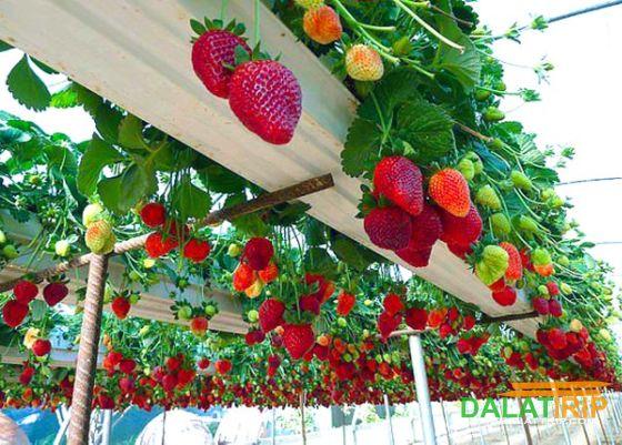 Một trong những vườn dâu tây công nghệ cao ở Đà Lạt