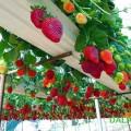vườn dâu tây trên giàn
