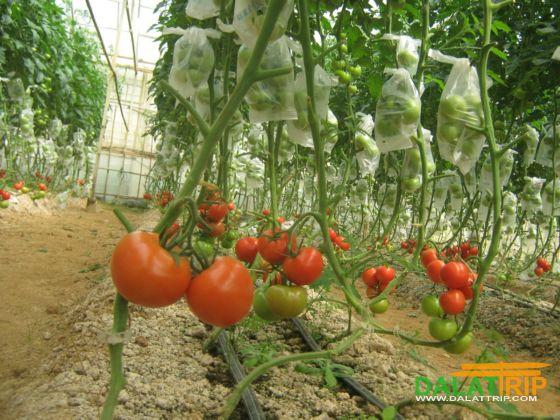 vườn cà chua sạch