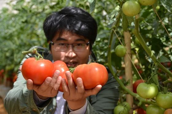 sàn phẩm cà chua trái lớn của Đà Lạt