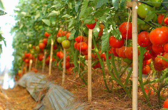 Vườn cà chua Đà Lạt