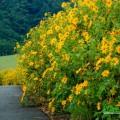 Mùa hoa dã quỳ Đà Lạt nở rộ