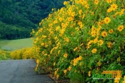 Đà Lạt thao thức vẻ đẹp hoa dã quỳ gọi mùa du lịch