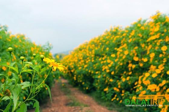 Sắc vàng hoa dã quỳ Đà Lạt