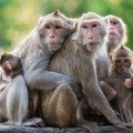 Khỉ trong chuyện cổ các dân tộc Tây Nguyên