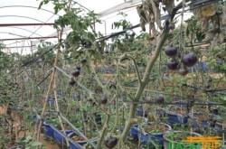 vườn cà chua đen