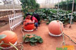 Vườn bí ngô khổng lồ trên thành phố Đà Lạt