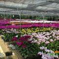 vườn lan YSA Orchid