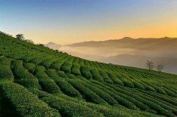 Đồi trà Cầu Đất – Trải nghiệm cùng nông trường chè