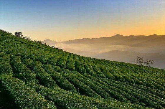 đồi trà Cầu Đất