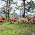 Đàn ngựa ở Đà Lạt