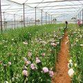 Lâm Đồng chuyên canh rau hoa