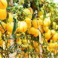 dưa pepino - trang trại Định farm