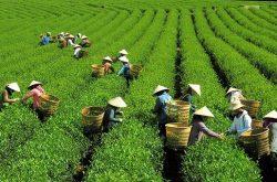 Một chiều ngao du xứ trà Tây Nguyên