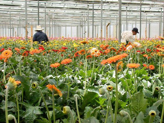 người trồng hoa làng hoa Vạn Thành
