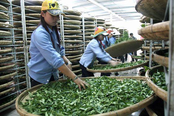 Sản xuất trà ô long tại vùng chè Cầu Đất - Đà Lạt