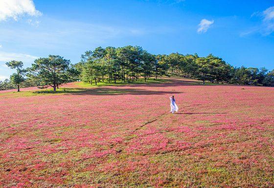 Thảo nguyên cỏ hồng Đà Lạt