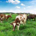 Trang trại bò sữa Đà Lạt
