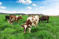 Trang trại bò sữa Đà Lạt – Dalat Milk Farm