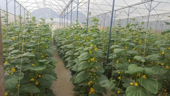 Các loại dưa cao cấp được trồng khép kín