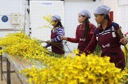 Đưa hoa lan của Lâm Đồng xuất ngoại