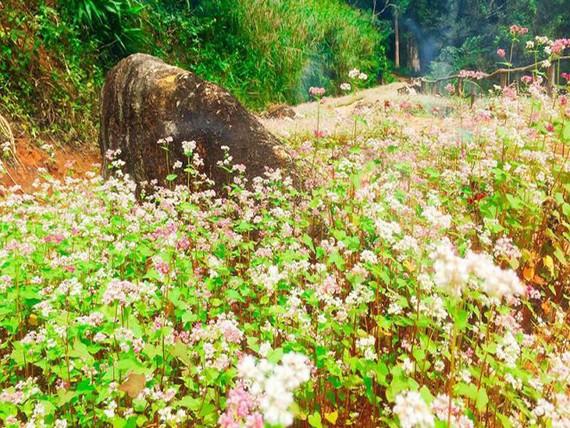 hoa Tam Giác Mạch ở Hoa Sơn Điền Trang