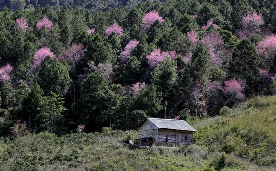 Hoa mai anh đào mọc xen kẽ trong rừng - ảnh Thế Anh