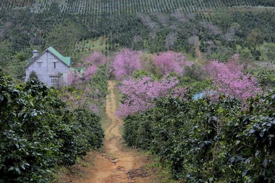 hoa mai anh đào trong vườn cà phê - ảnh Thế Anh
