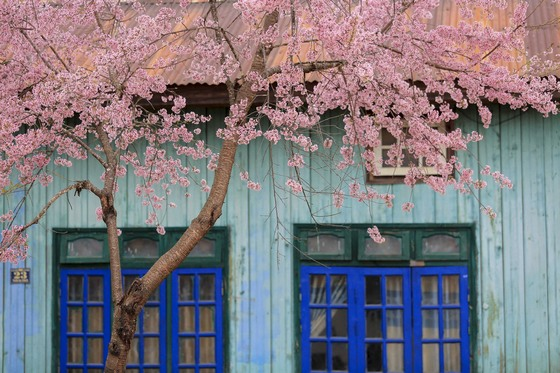 cây hoa mai anh đào bên căn nhà gỗ - ảnh Thế Anh
