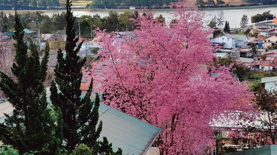 cây hoa mai anh đào nổi bậc trên Trần Hưng Đạo