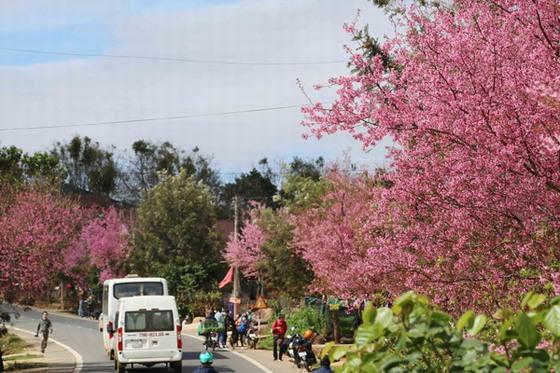 Hoa anh đào trên con đường vào thành phố - ảnh Nghĩa Nguyễn