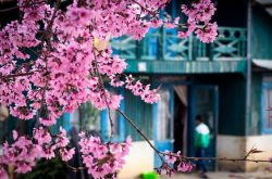 Hoa mai anh đào biểu tượng mùa xuân của Đà Lạt