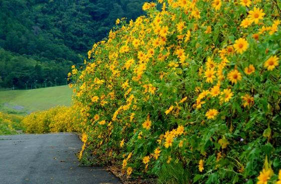 mùa hoa dã quỳ phủ sắc vàng Đà Lạt