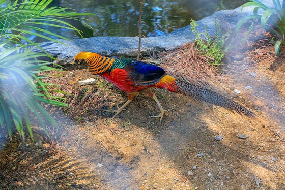 Chim trĩ đỏ cũng có mặt tại trại chim