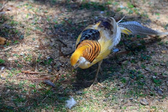 Chim trĩ vàng - loài chim có sắc màu đẹp nhất trong các loài chim