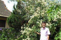 Nhân giống thành công cây Dã quỳ trắng ở Đà Lạt